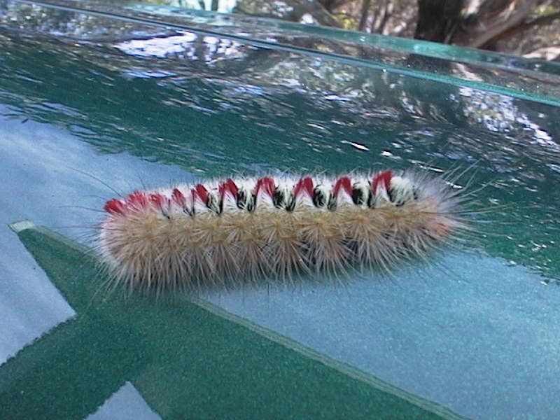 Sparshall's Moth Caterpillar